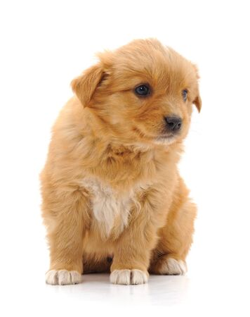Brown beautiful puppy isolated on a white background. Imagens
