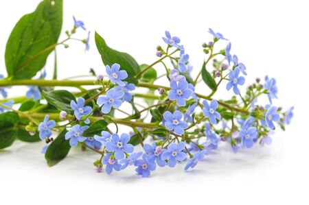 Spring blue forget-me-nots flowers isolated on white background.