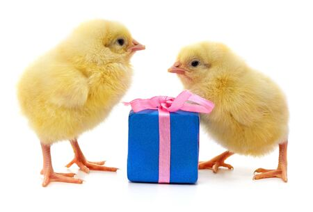 Chickens and gift isolated on a white background.