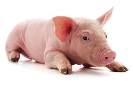 Petit cochon rose isolé sur fond blanc. Banque d'images