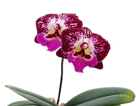 Pink orchid flowers isolated on a white background.