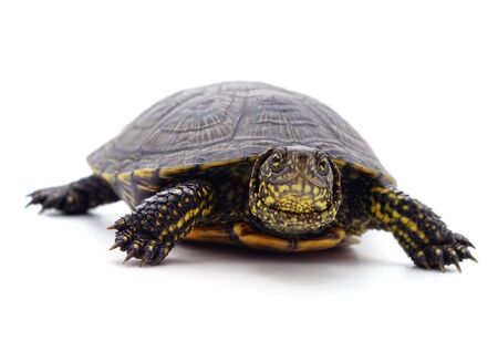 Wild black turtle isolated on a white background.