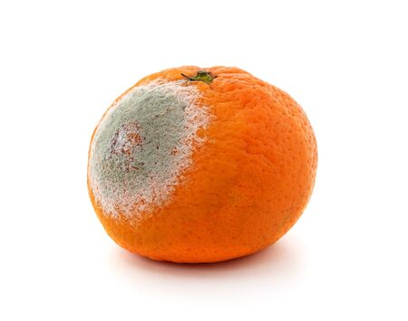 One rotten mandarin isolated on a white background.