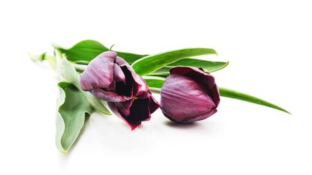 Bouquet of dark tulips isolated on a white background. Foto de archivo