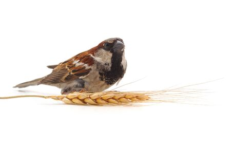 Little sparrow and spikelet isolated on a white background.