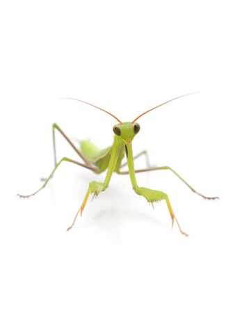 Green mantis isolated on a white background.
