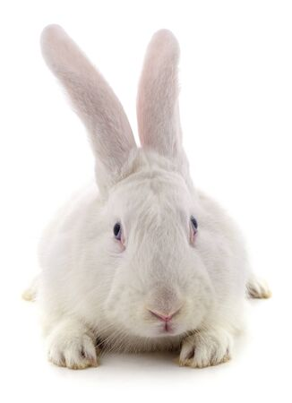 One white rabbit isolated on a white background. Foto de archivo