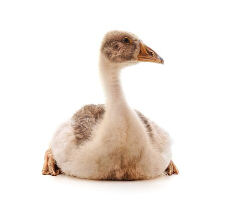 One gray goose isolated on a white background. Фото со стока
