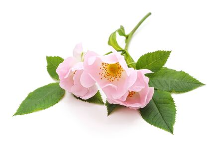 Wild rose flowers isolated on a white background.
