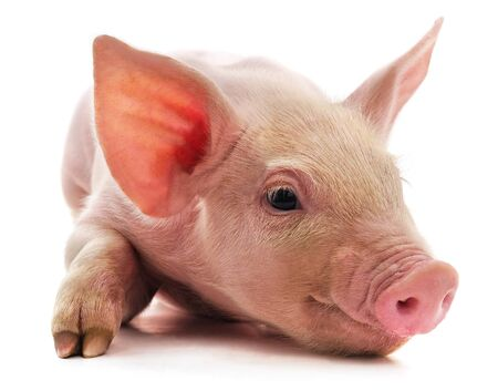 Little pink pig isolated on a white background. Standard-Bild