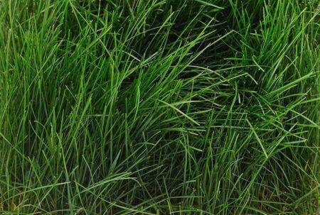 Bush of green grass forming a background. 版權商用圖片
