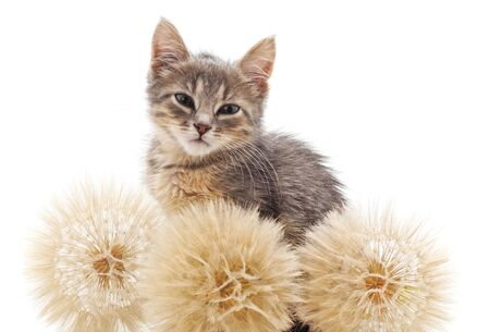 Cat with dandelions isolated on a white background.