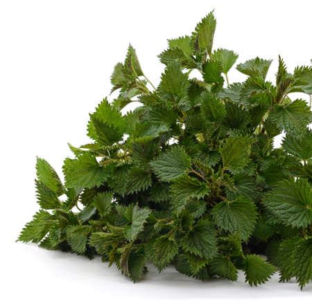 Branch of green nettle isolated on a white background. Standard-Bild - 152334725