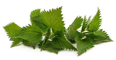 Bush green nettle isolated on a white background.