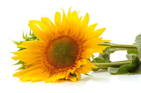 Big yellow sunflower isolated on white background.