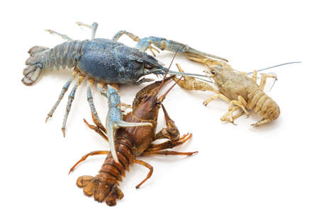 Multicolored river crayfish isolated on a white background. 版權商用圖片