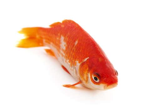 One goldfish isolated on a white background.