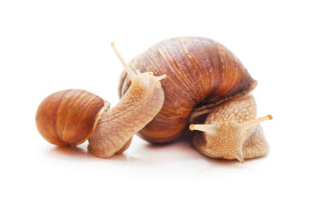 Two striped snails isolated on a white background. Standard-Bild - 152356264