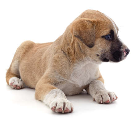 Brown beautiful puppy isolated on a white background. Standard-Bild - 152356008