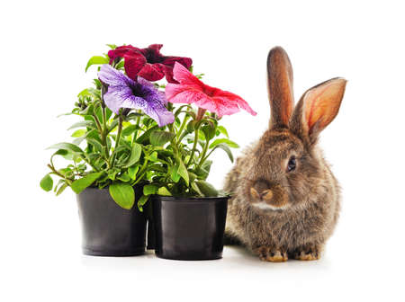 Brown rabbit and petunia in pots isolated on a white background.