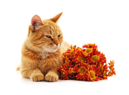 Brown cat and bouquet of chrysanthemums isolated on a white background.
