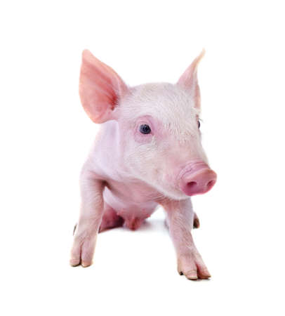 One small pig isolated on a white background.