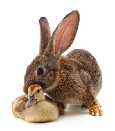 Rabbit and duckling isolated on a white background. 版權商用圖片