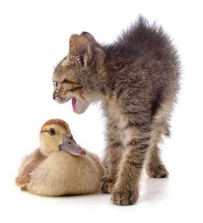 Kitten and duckling isolated on a white background.