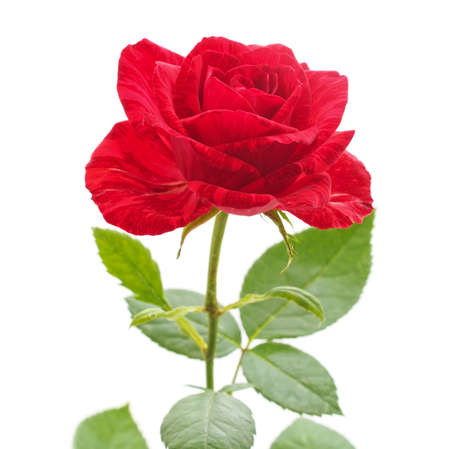 One red rose isolated on a white background. Archivio Fotografico