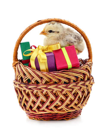 Small chicken in the basket with gift boxes isolated on a white background.