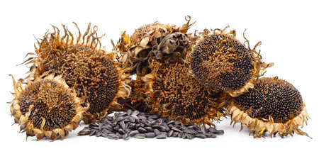 Dried sunflower with seeds isolated on a white background. Standard-Bild