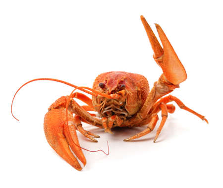 Boiled crayfish with raised claw isolated on a white background. Standard-Bild