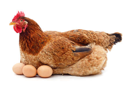 Brown chicken with eggs isolated on a white background.
