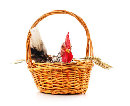 Chicken in a basket with wheat ears isolated on a white background.