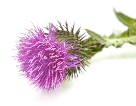 Thistle with flower and leaves isolated on white background.