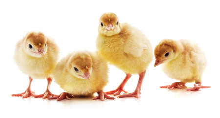 Four little turkeys isolated on a white background.