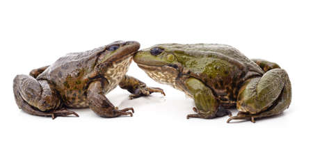 Two green frogs isolated on a white background. 免版税图像