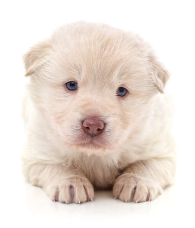One white puppy isolated on a white background.