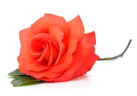 One red rose isolated on a white background. 免版税图像