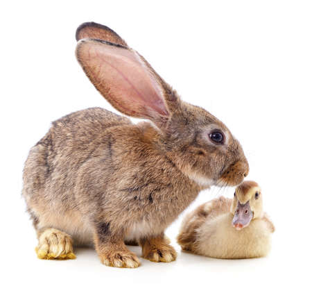 Rabbit and duckling isolated on a white background. 免版税图像