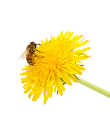 Bee on a yellow dandelion isolated on a white background.