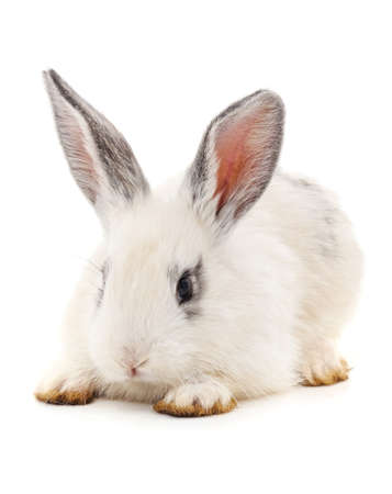 One white rabbit isolated on a white background.