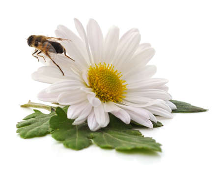 Bee on a white chamomile isolated on white background.