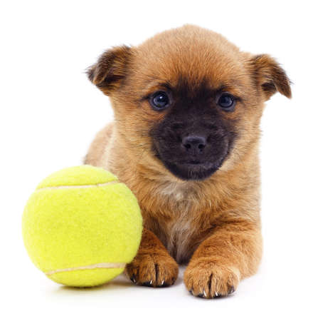 Brown dog with ball isolated on a white background. 免版税图像