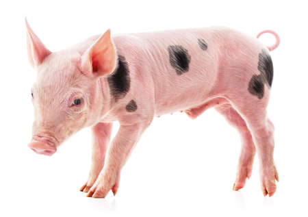 One little spotted piglet isolated on a white background.