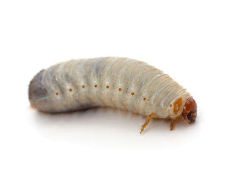 One beetle larva isolated on a white background.