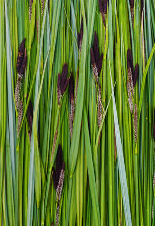 Lots of green sedge leaves forming a background.