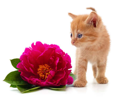 Red peonies and cat isolated on a white background.