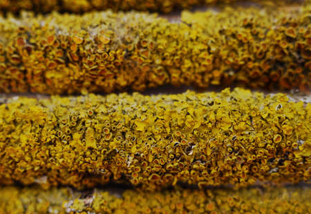 Yellow lichen on old tree bark.