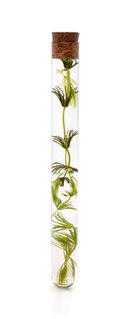 Seaweed in a test tube isolated on a white background.